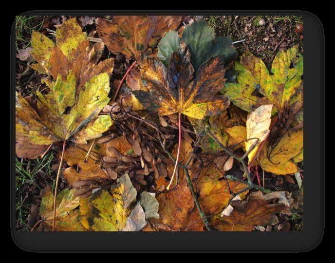 Ahornsamen und Ahornblätter, teilweise von der Teerfleckenkrankheit befallen. Sowohl der Samen als auch die von der Teerfleckenkrankheit befallenen Blätter stehen im Verdacht, eine atypische Myopathie auszulösen, die oft letal endet.